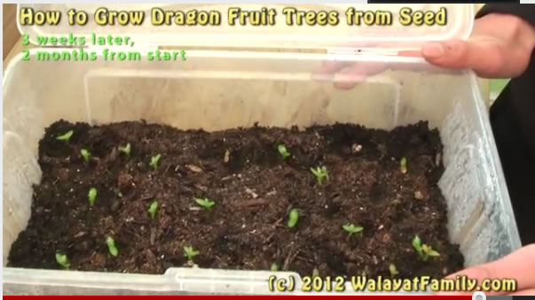 How To Grow A Dragon Fruit Tree From Seed Germinate Planting And 3 Month Growth Walayatfamily
