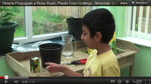 how to grow a rose bush from cuttings