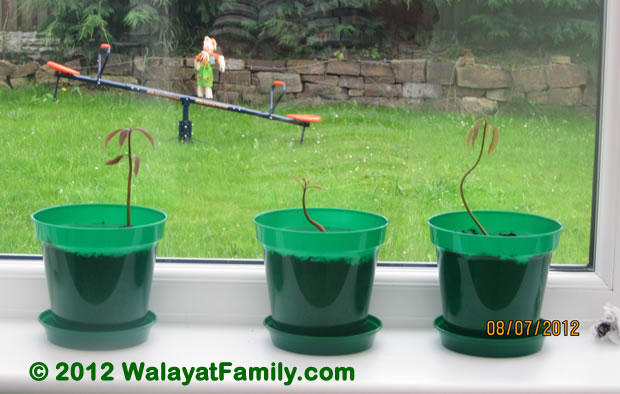 how to grow a mango tree from seed in water